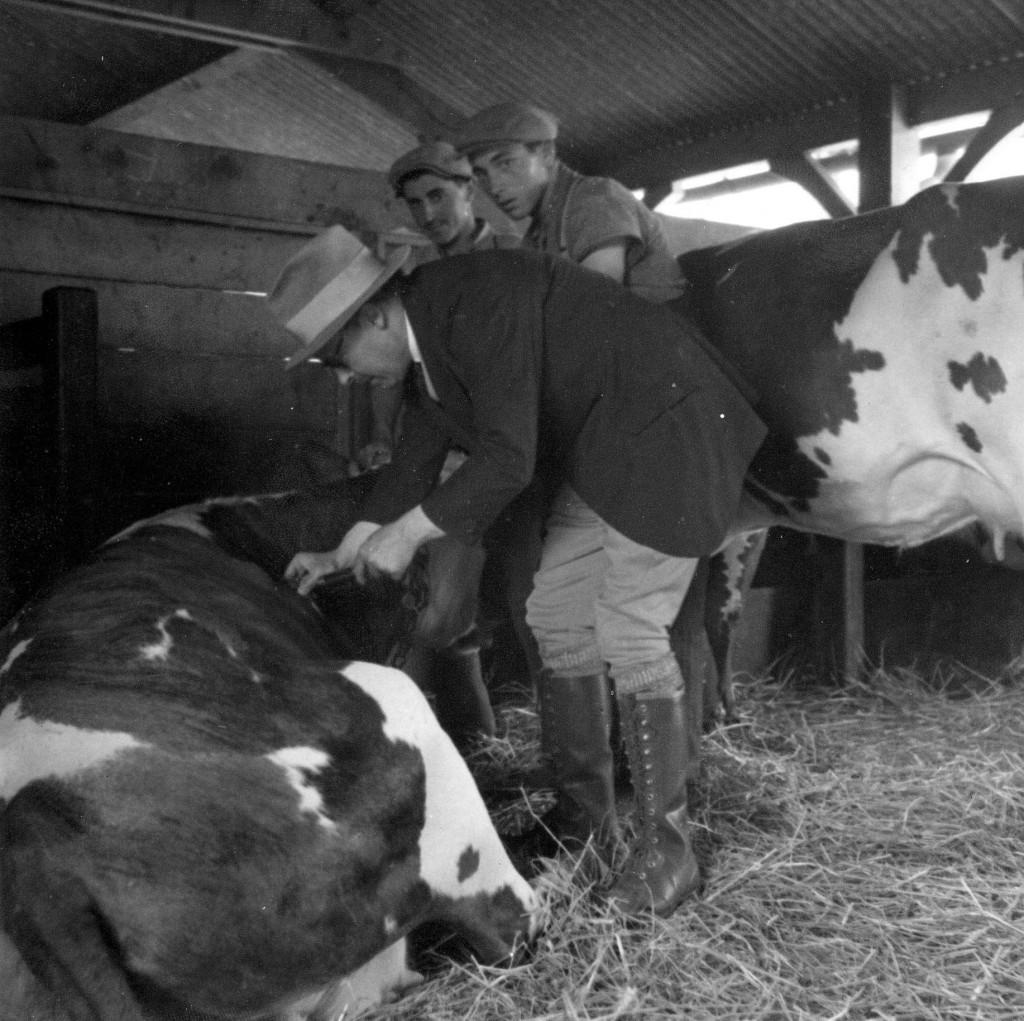 Ludovic Blaizot  faisant un prélèvement sur un bovin.